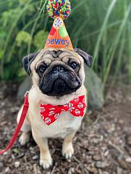 Dog Birthday Hat in Orange with Colorful Balloons Personalized-dog birthday hat, pet birthday, balloons, girl, boy, personalized, yellow party balloon, orange, red, blue